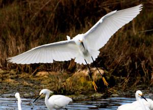 Snowy Egret banking in for landing - Merritt Island NWR - near Titusville FL - 2013-01-29