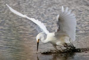 Snowy Egret feeding splash down - Merritt Island NWR - near Titusville FL - 2013-01-29