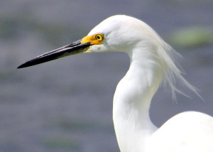 Snowy Egret head shot with plumes - Green Cay - near Boynton Beach FL - 2013-01-21
