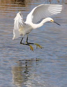 Snowy Egret holding its feet forward out of water - Merritt Island NWR - near Titusville FL - 2013-01-29