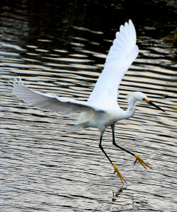 Snowy Egret in flight showing of yellow feet - Merritt Island NWR - near Titusville FL - 2013-01-29