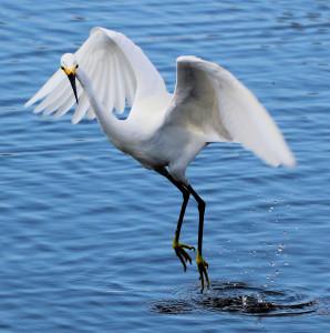 Snowy Egret water dancing - Merritt Island NWR - near Titusville FL - 2013-01-29