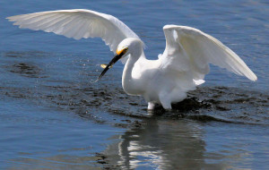 Snowy Egret with fish - Merritt Island NWR - near Titusville FL - 2013-01-29