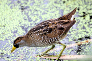 Sora feeding - Green Cay - near Boynton Beach FL - 2013-01-21