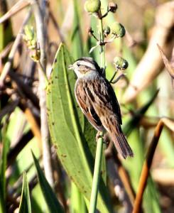 Swamp Sparrow from behind - Lake Woodruff - near DeLeon Springs FL - 2013-01-26