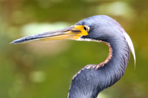 Tricolored Heron head shot with feathering - Green Cay - near Boynton Beach FL - 2013-01-20