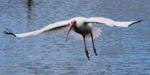 White Ibis landing - Merritt Island NWR - near Titusville FL - 2013-01-29