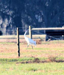 Whooping Crane - near St Cloud FL - 2013-01-27