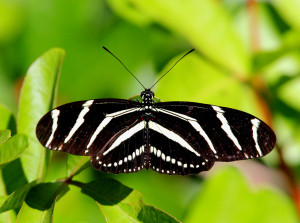 Zebra Heliconian - Viera Wetlands - Viera FL - 2013-01-23