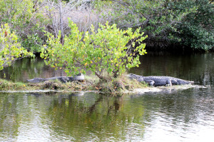alligators - Merritt Island NWR - near Titusville FL - 2013-01-22