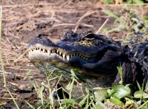 big alligator - TM Goodwin - near Fellsmere FL - 2013-01-31