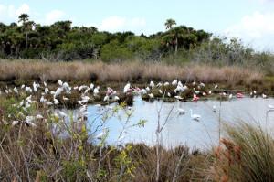 egrets spoonbills and storks - Merritt Island NWR - near Titusville FL - 2013-01-29