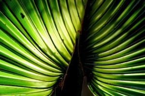 fan palm (maybe) - Lake Woodruff NWR - near DeLeon Springs FL - 2013-01-26