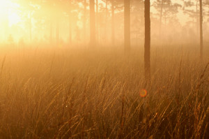 golden sunlight through morning fog - Three Lakes WMA - near St Cloud FL - 2013-01-27