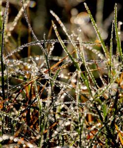 grass laden with dew - Three Lakes WMA - near St Cloud FL - 2013-01-27