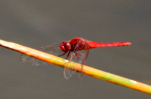 is this a very bright Roseate Skimmer - Green Cay - near Boynton Beach FL - 2013-01-21