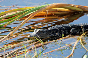 little alligator - Viera Wetlands - Viera FL - 2013-01-29