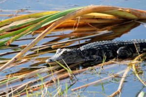 little alligator - Viera Wetlands - Viera FL - 2013-01-29