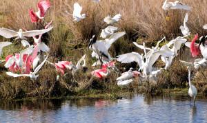 wading birds feeding frenzy - Merritt Island NWR - near Titusville FL - 2013-01-29