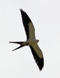 Swallow-tailed Kite in flight - near Lake Okeechobee FL - 2012-04-22 IMG_3348