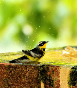 Magnolia Warbler adult male bathing - Dry Tortugas FL - 2012-04-26 IMG_5117