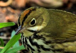 Ovenbird - Dry Tortugas FL - 2012-04-25 IMG_4904