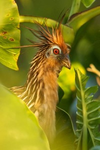 Hoatzin     photo by Kevin Loughlin