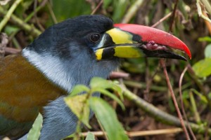 Gray-breasted Mountain Toucan     photo by Kevin Loughlin
