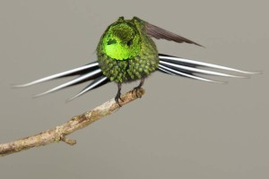 Green Thorntail     photo by Kevin Loughlin