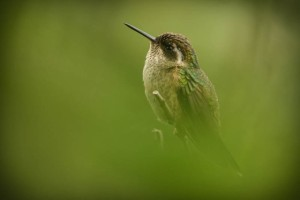 Speckled Hummingbird     photo by Kevin Loughlin