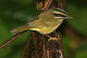 Three-striped Warbler     photo by Kevin Loughlin