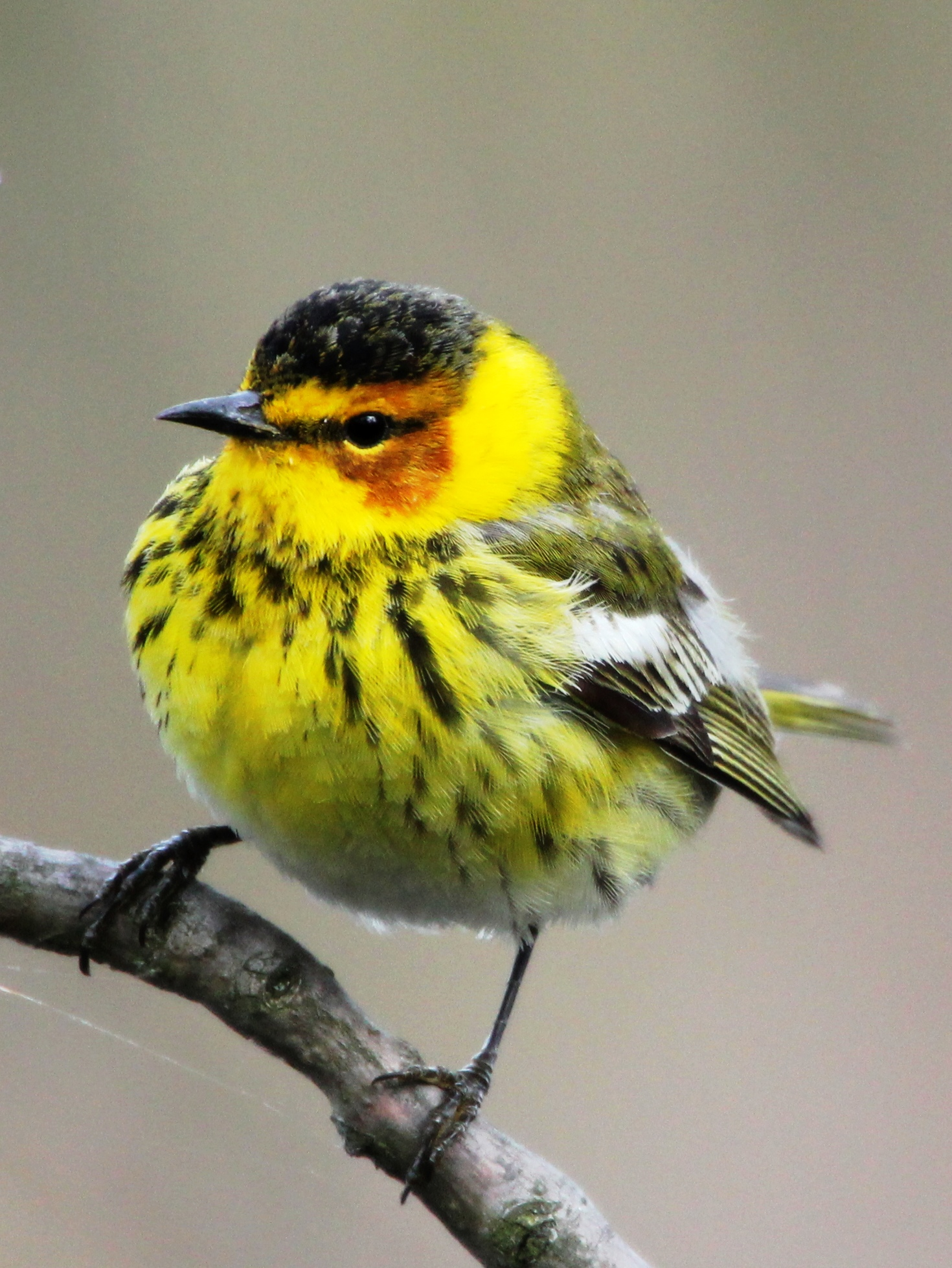 Chilly Cape May Warbler during Biggest Week in American Birding - Magee Marsh - May 2013     photo by Greg Miller