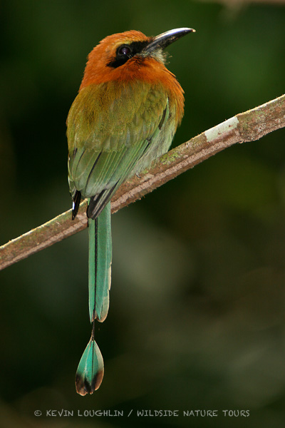 Broad-billed Motmot. Panama. Photo by Kevin Loughlin