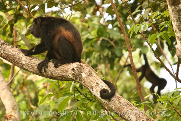 Mantled Howler Monkeys. Panama.