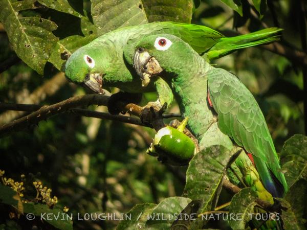 Mealy Parrots. Panama.