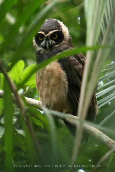Spectacled Owl. Panama.