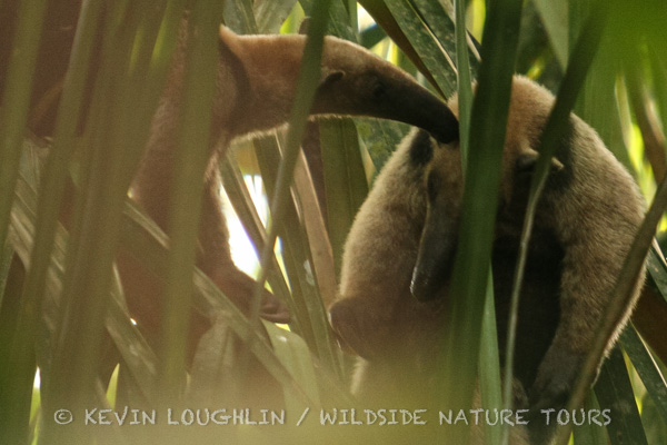 Vested Anteaters. Panama