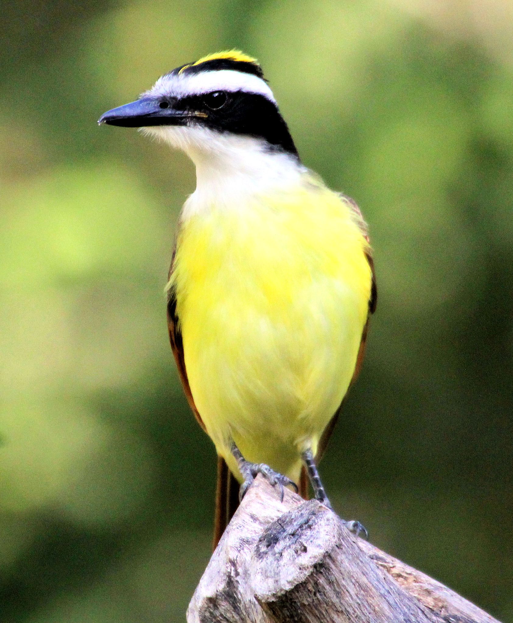 Great Kiskadee displaying crown - Quinta Mazatlan - McAllen TX - 2012-12-12