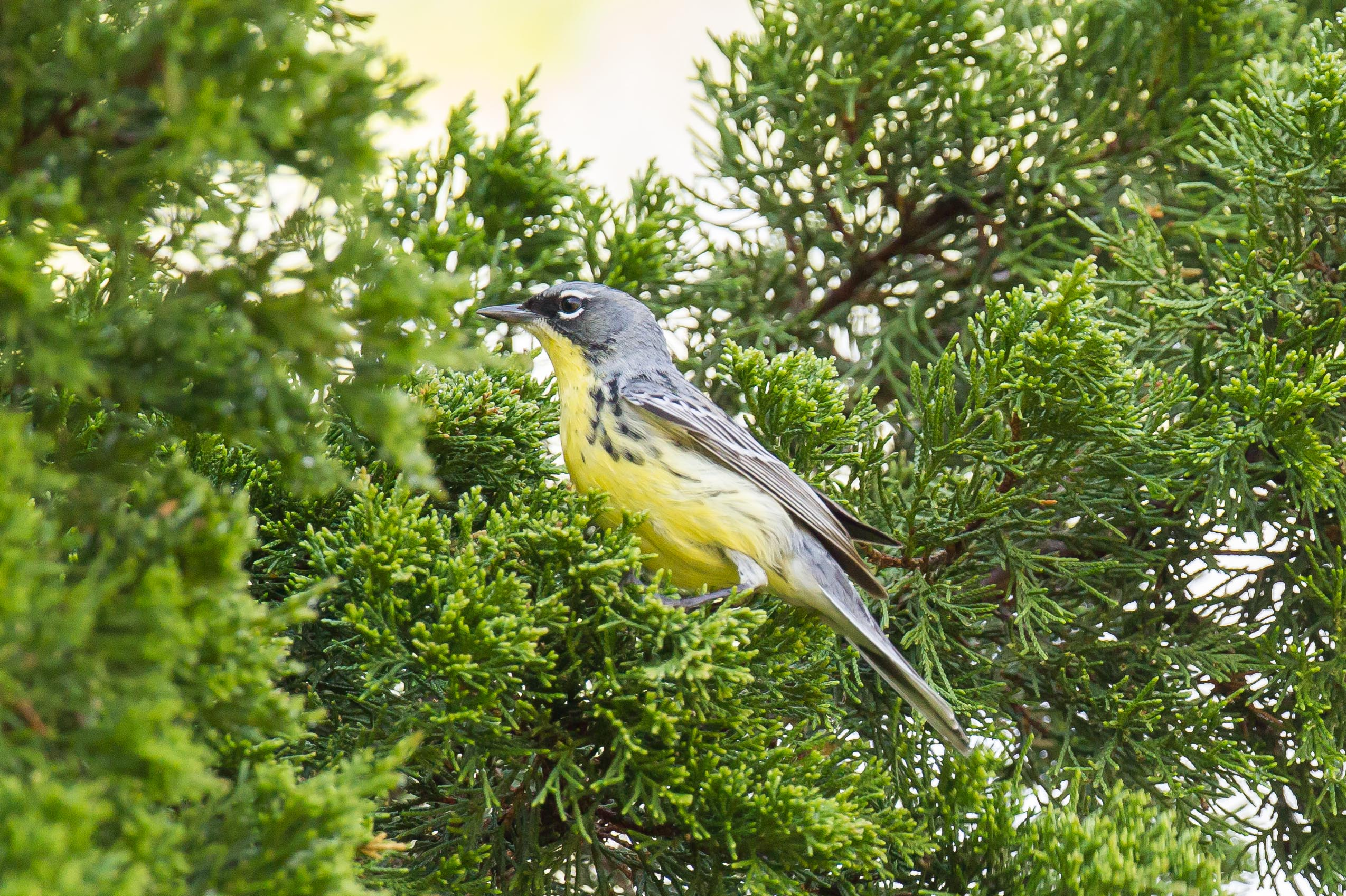 Kirtland's Warbler - Kelleys Island OH - 2014-05-13 photo by Lee Wallace