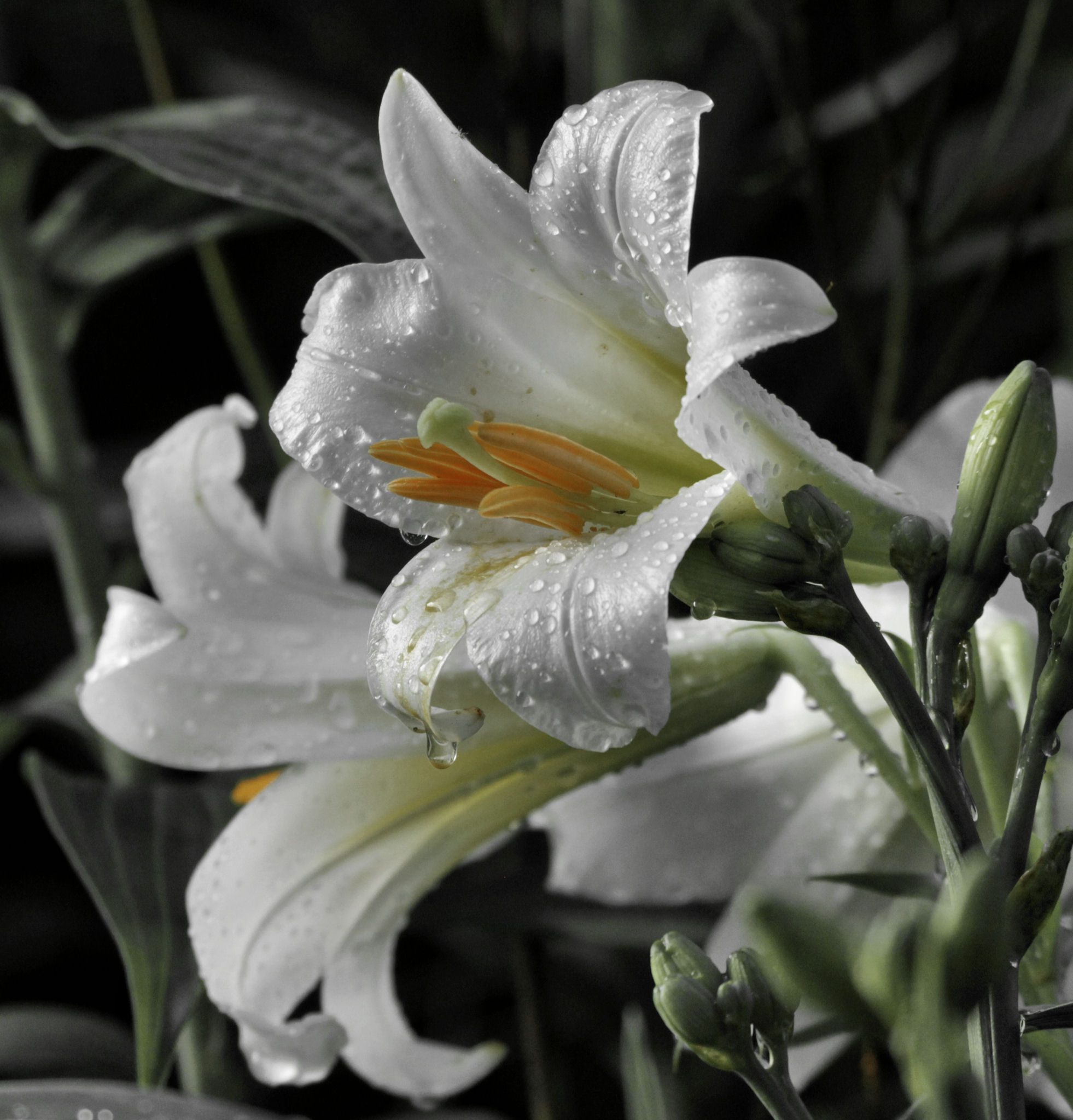 white trumpet-shaped daylily with drops faded filter- Holmes Co OH - 2014-07-02