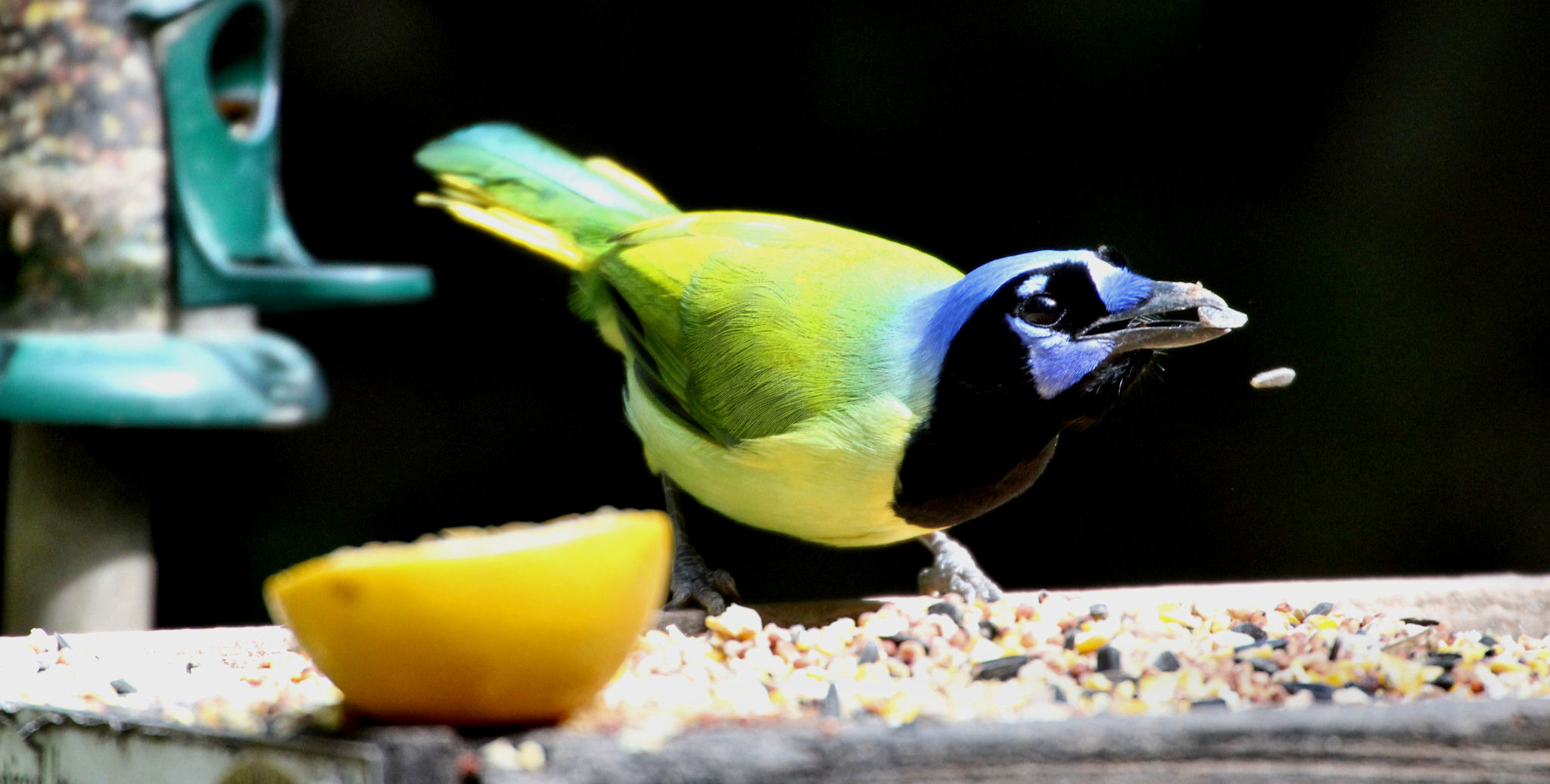 Green Jay shucking seeds - Sabal Palm Sanctuary - Brownsville TX - 2014-11-17