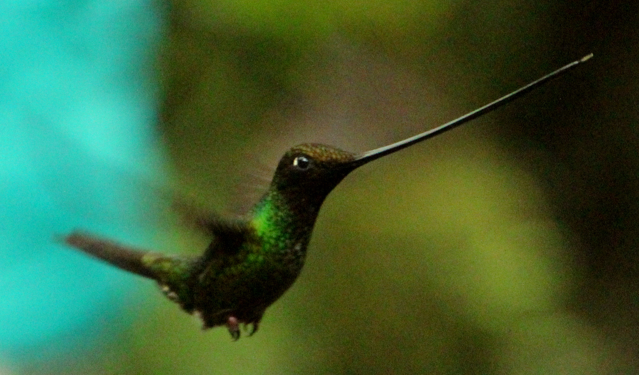 Sword-billed Hummingbird hovering - Guango EC - 2014-08-14