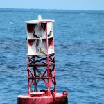 5 Brown Boobies on buoy en route to Dry Tortugas - 2012-04-25