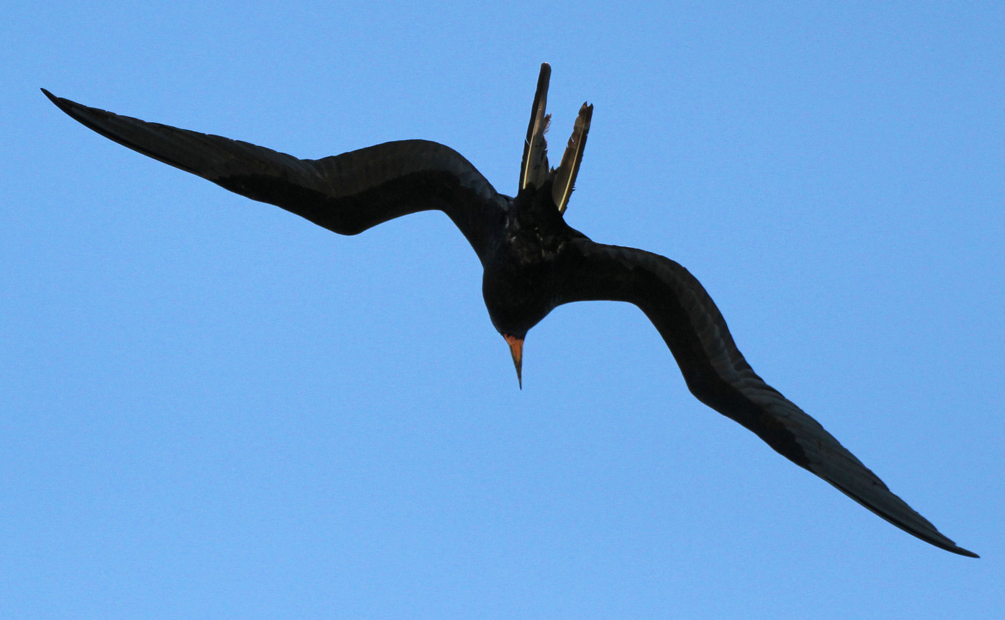 adult male magnificent frigatebird approaching 06 - Dry Tortugas, FL - 2012-04-26